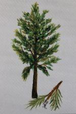 Virginia Pine $500